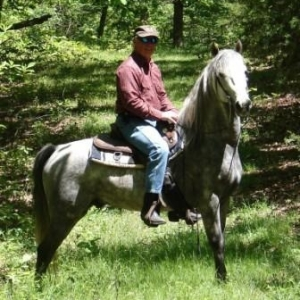 Gray Gaited Morgan Stallion