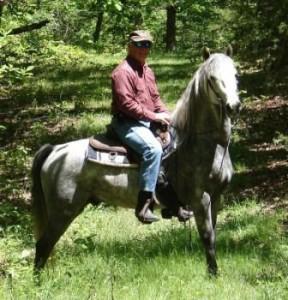 Gray Gaited Morgan Stallion
