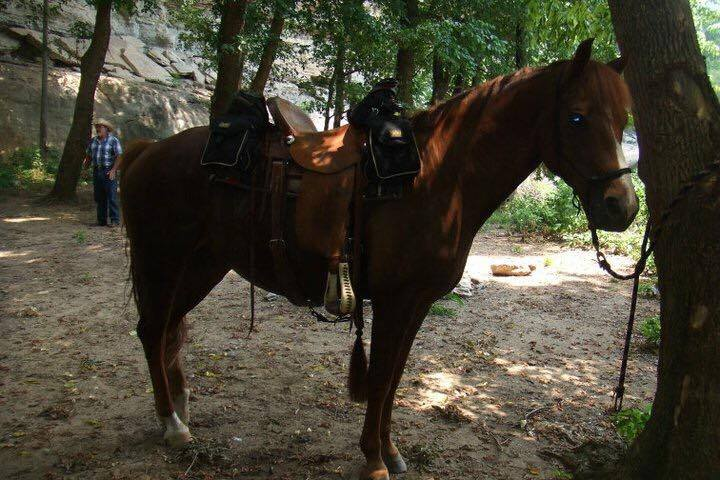 Gaited Morgan Gelding 16 year old