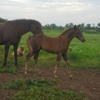 Gaited Morgan Colt 2017