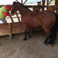 Gaited Morgan mare in training